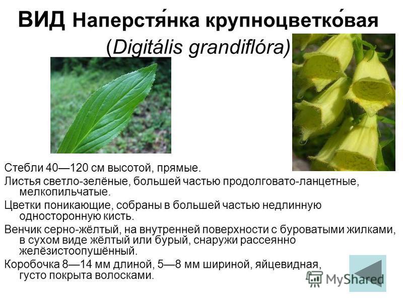 Стебли 40120 см высотой, прямые. Листья светло-зелёные, большей частью продолговато-ланцетные, мелкопильчатые. Цветки поникающие, собраны в большей частью недлинную одностороннюю кисть. Венчик серно-жёлтый, на внутренней поверхности с буроватыми жилк
