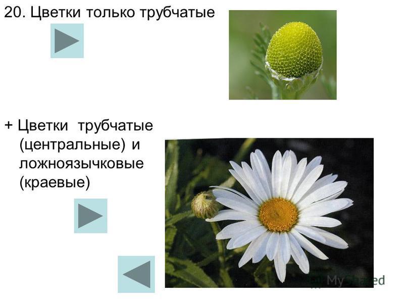 20. Цветки только трубчатые + Цветки трубчатые (центральные) и ложноязычковые (краевые)