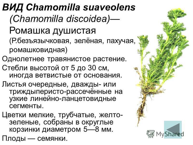 Однолетнее травянистое растение. Стебли высотой от 5 до 30 см, иногда ветвистые от основания. Листья очередные, дважды- или триждыперисто-рассечённые на узкие линейно-ланцетовидные сегменты. Цветки мелкие, трубчатые, желто- зеленые, собраны в округлы