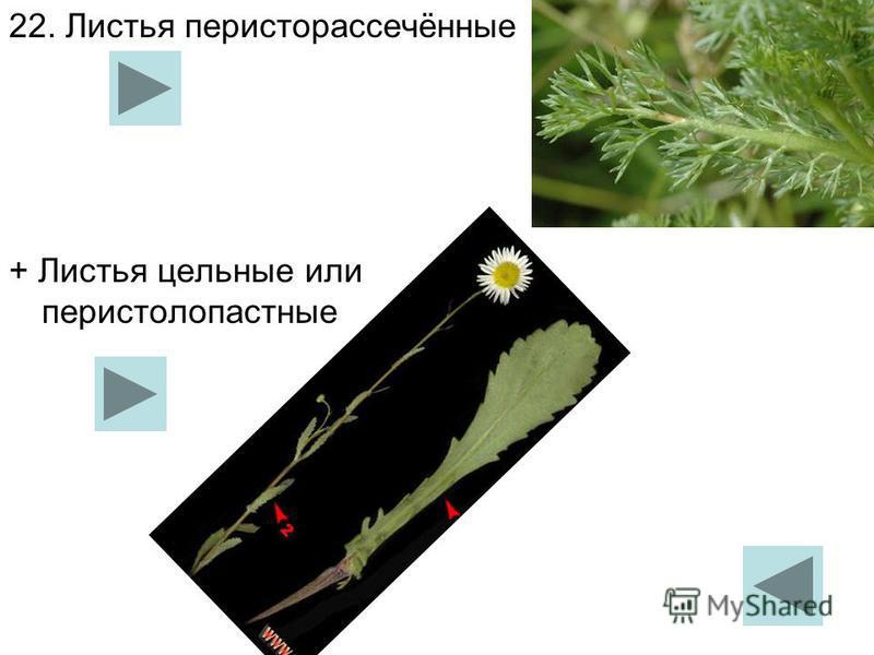 22. Листья перисторассечённые + Листья цельные или перистолопастные