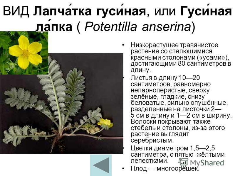 ВИД Лапча́тка гуси́ная, или Гуси́ная ла́пка ( Potentilla anserina) Низкорастущее травянистое растение со стелющимися красными столонами («усами»), достигающими 80 сантиметров в длину. Листья в длину 1020 сантиметров, равномерно непарноперистые, сверх
