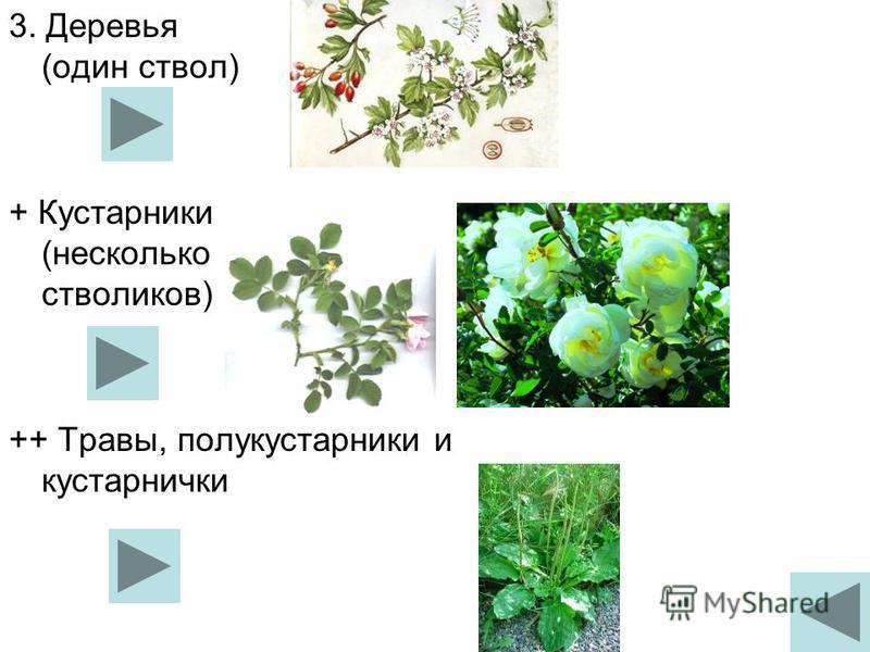 3. Деревья (один ствол) + Кустарники (несколько стволиков) ++ Травы, полукустарники и кустарнички
