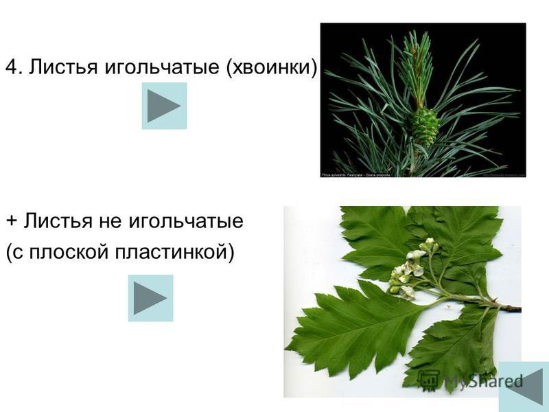 4. Листья игольчатые (хвоинки) + Листья не игольчатые (с плоской пластинкой)