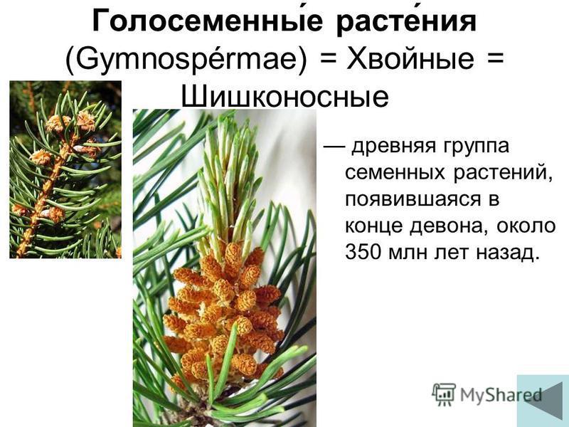 Голосеменны́е расте́ния (Gymnospérmae) = Хвойные = Шишконосные древняя группа семенных растений, появившаяся в конце девона, около 350 млн лет назад.