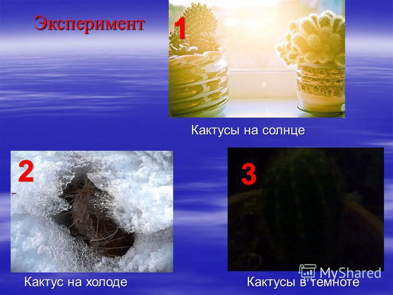 Кактусы на солнце Кактус на холоде Кактусы в темноте Эксперимент