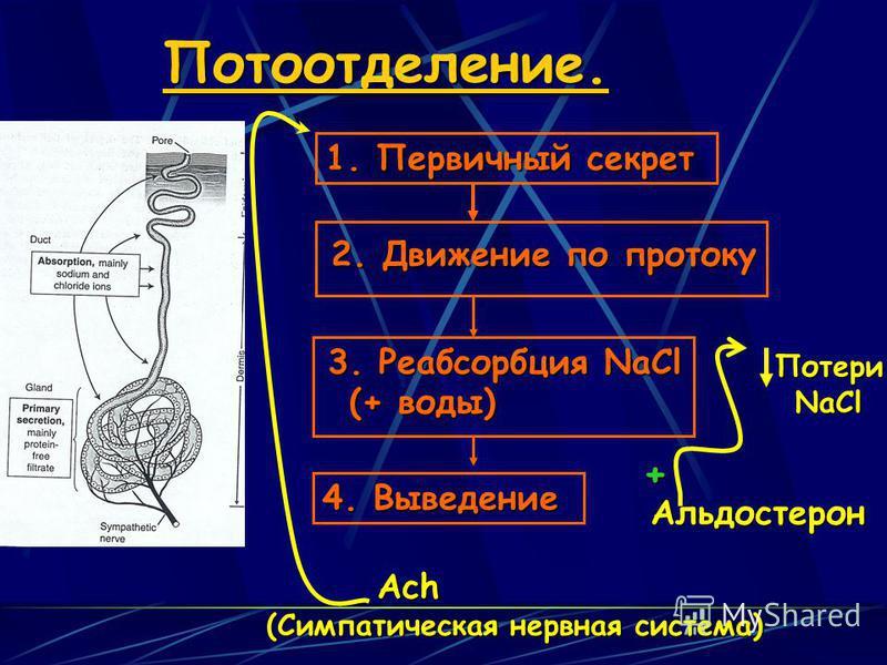Потоотделение.Ach (Симпатичешская нервная система) 1. Первичный секрет 2. Движение по протоку 3. Реабсорбция NaCl (+ воды) 4. Выведение Альдостерон +ПотериNaCl