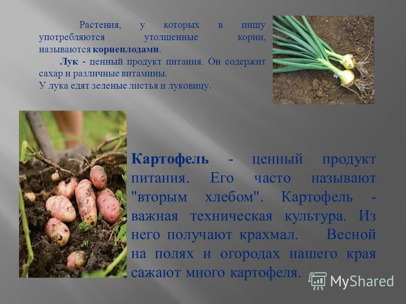 Растения, у которых в пищу употребляются утолщенные корни, называются корнеплодами. Лук - ценный продукт питания. Он содержит сахар и различные витамины. У лука едят зеленые листья и луковицу. Картофель - ценный продукт питания. Его часто называют