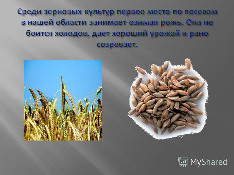 Среди зерновых культур первое место по посевам в нашей области занимает озимая рожь. Она не боится холодов, дает хороший урожай и рано созревает.
