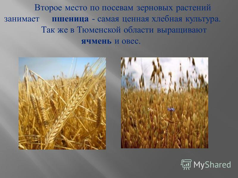 Второе место по посевам зерновых растений занимает пшеница - самая ценная хлебная культура. Так же в Тюменской области выращивают ячмень и овес.