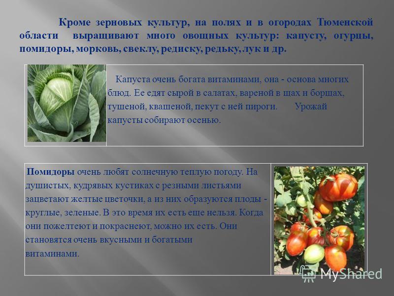 Кроме зерновых культур, на полях и в огородах Тюменской области выращивают много овощных культур: капусту, огурцы, помидоры, морковь, свеклу, редиску, редьку, лук и др. Капуста очень богата витаминами, она - основа многих блюд. Ее едят сырой в салата