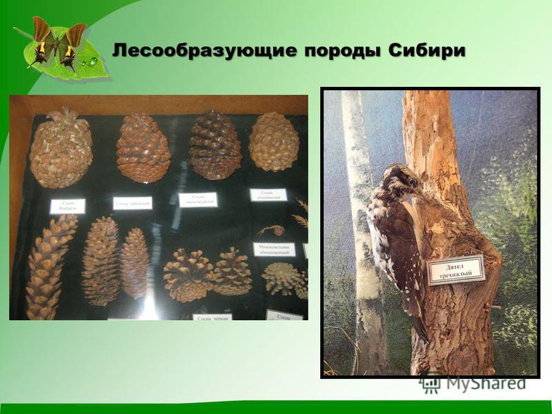 Лесообразующие породы Сибири