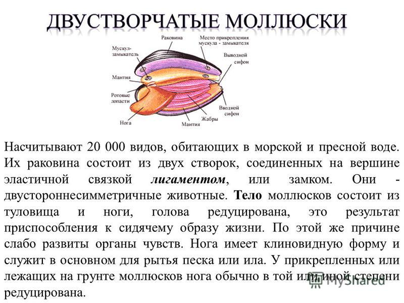 Насчитывают 20 000 видов, обитающих в морской и пресной воде. Их раковина состоит из двух створок, соединенных на вершине эластичной связкой лигаментом, или замком. Они - двустороннесимметричные животные. Тело моллюсков состоит из туловища и ноги, го