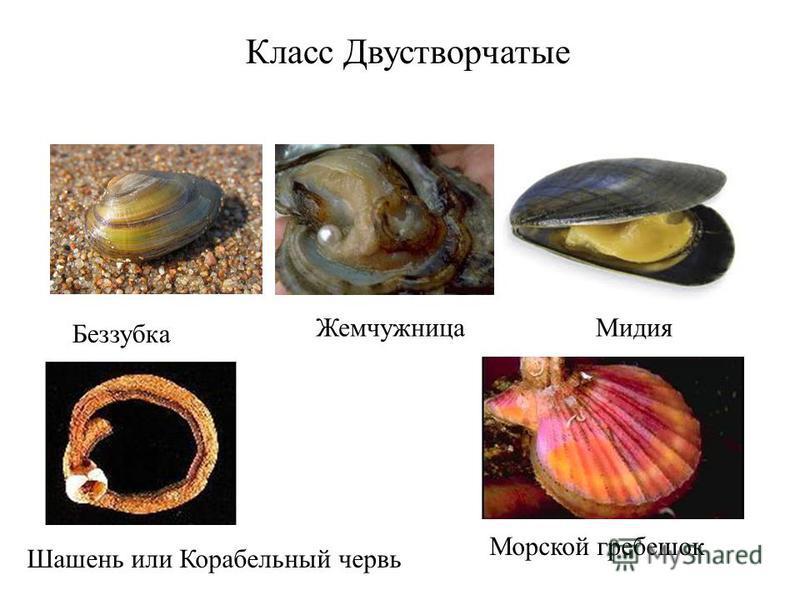 Класс Двустворчатые Беззубка Жемчужница Мидия Шашень или Корабельный червь Морской гребешок