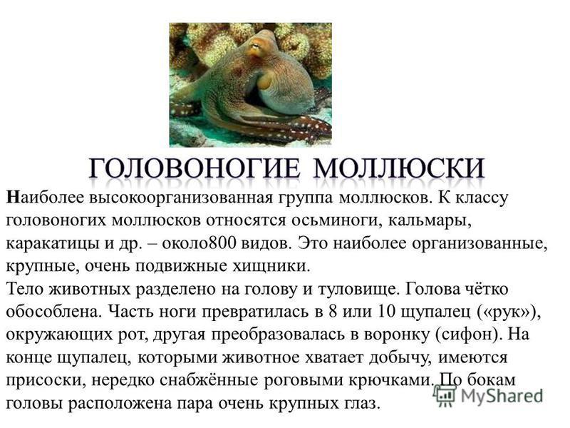Наиболее высокоорганизованная группа моллюсков. К классу головоногих моллюсков относятся осьминоги, кальмары, каракатицы и др. – около 800 видов. Это наиболее организованные, крупные, очень подвижные хищники. Тело животных разделено на голову и тулов