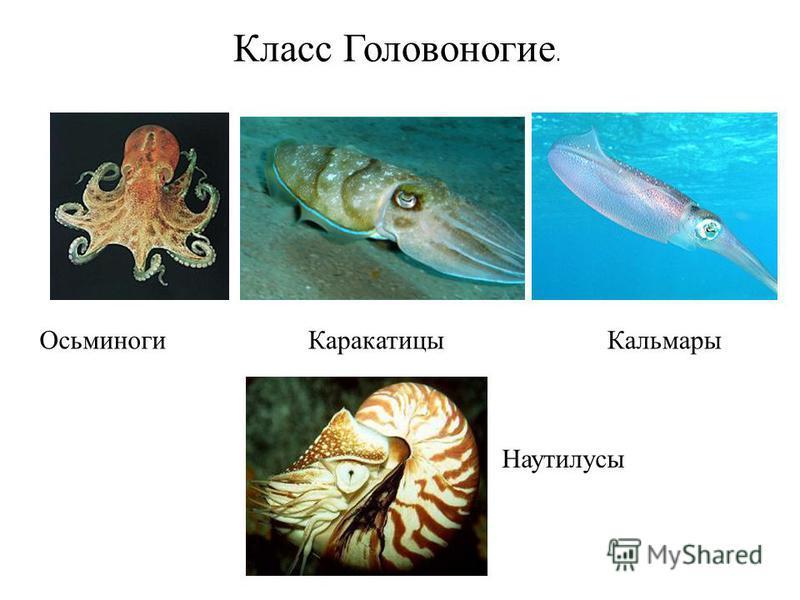 Класс Головоногие. Осьминоги КаракатицыКальмары Наутилусы