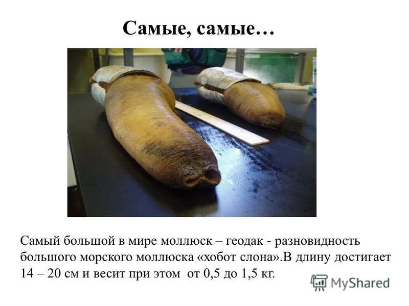 Самые, самые… Самый большой в мире моллюск – геодак - разновидность большого морского моллюска «хобот слона».В длину достигает 14 – 20 см и весит при этом от 0,5 до 1,5 кг.
