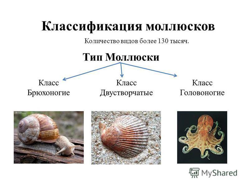 Классификация моллюсков Количество видов более 130 тысяч. Тип Моллюски Класс Брюхоногие Класс Двустворчатые Класс Головоногие