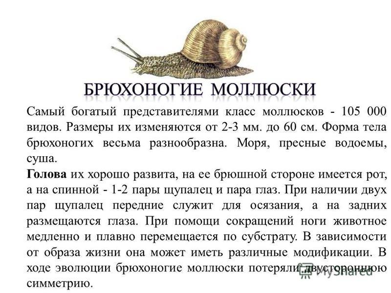 Самый богатый представителями класс моллюсков - 105 000 видов. Размеры их изменяются от 2-3 мм. до 60 см. Форма тела брюхоногих весьма разнообразна. Моря, пресные водоемы, суша. Голова их хорошо развита, на ее брюшной стороне имеется рот, а на спинно