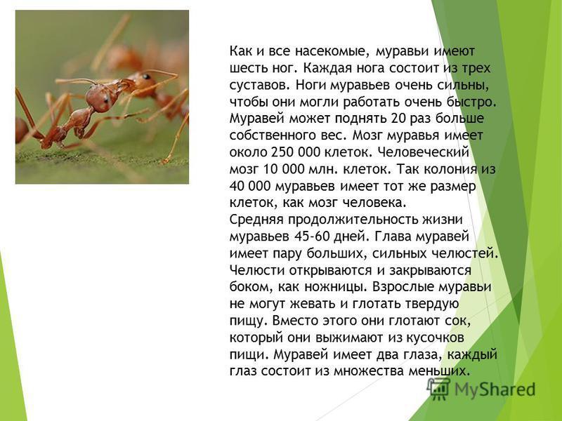 Как и все насекомые, муравьи имеют шесть ног. Каждая нога состоит из трех суставов. Ноги муравьев очень сильны, чтобы они могли работать очень быстро. Муравей может поднять 20 раз больше собственного вес. Мозг муравья имеет около 250 000 клеток. Чело
