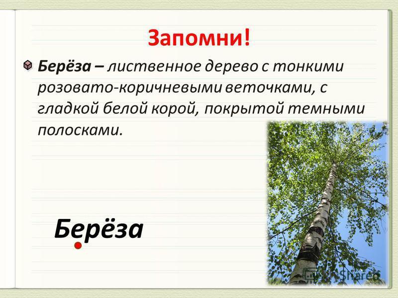 Берёза – лиственное дерево с тонкими розовато-коричневыми веточками, с гладкой белой корой, покрытой темными полосками. Берёза