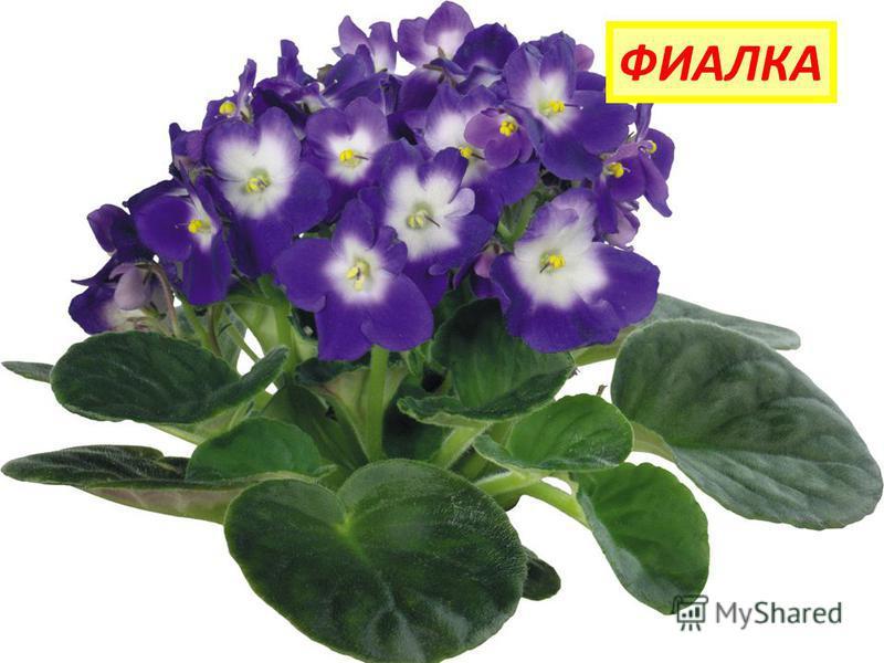 Просит у меня дружок Фиолетовый цветок. Мне отдать его не жалко, Подарю дружку... ФИАЛКА