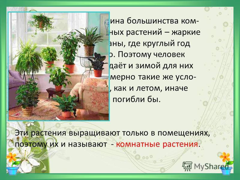 Родина большинства комнатных растений – жаркие страны, где круглый год лето. Поэтому человек создаёт и зимой для них примерно такие же условия, как и летом, иначе они погибли бы. Эти растения выращивают только в помещениях, поэтому их и называют - ко