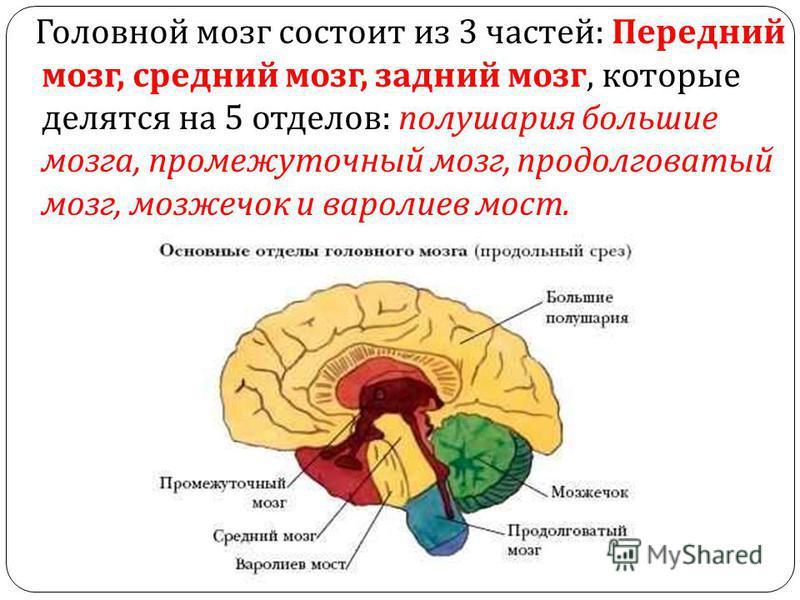 Головной мозг состоит из 3 частей : Передний мозг, средний мозг, задний мозг, которые делятся на 5 отделов : полушария большие мозга, промежуточный мозг, продолговатый мозг, мозжечок и варолиев мост.
