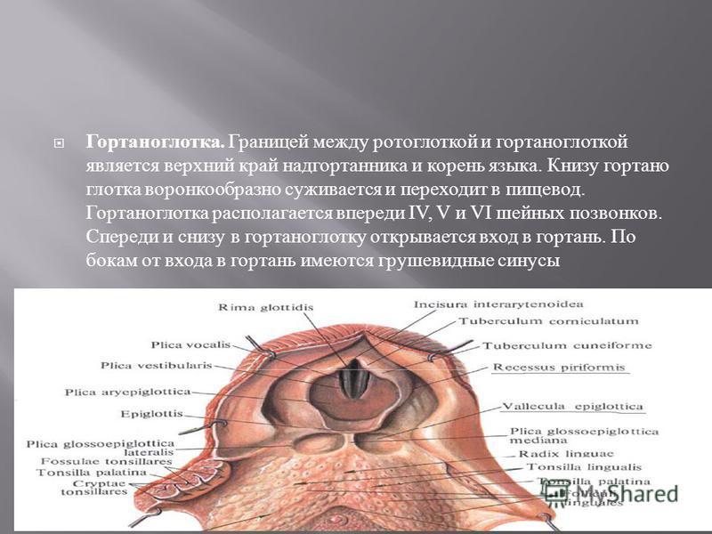 Гортаноглотка. Границей между ротоглоткой и гортанноглоткой является верхний край надгортанника и корень языка. Книзу гортанно глотка воронкообразно суживается и переходит в пищевод. Гортаноглотка располагается впереди IV, V и VI шейных позвонков. Сп