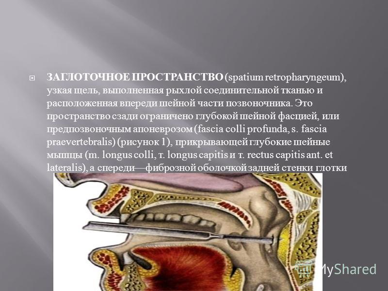 ЗАГЛОТОЧНОЕ ПРОСТРАНСТВО (spatium retropharyngeum), узкая щель, выполненная рыхлой соединительной тканью и расположенная впереди шейной части позвоночника. Это пространство сзади ограничено глубокой шейной фасцией, или предпозвоночным апоневрозом (fa