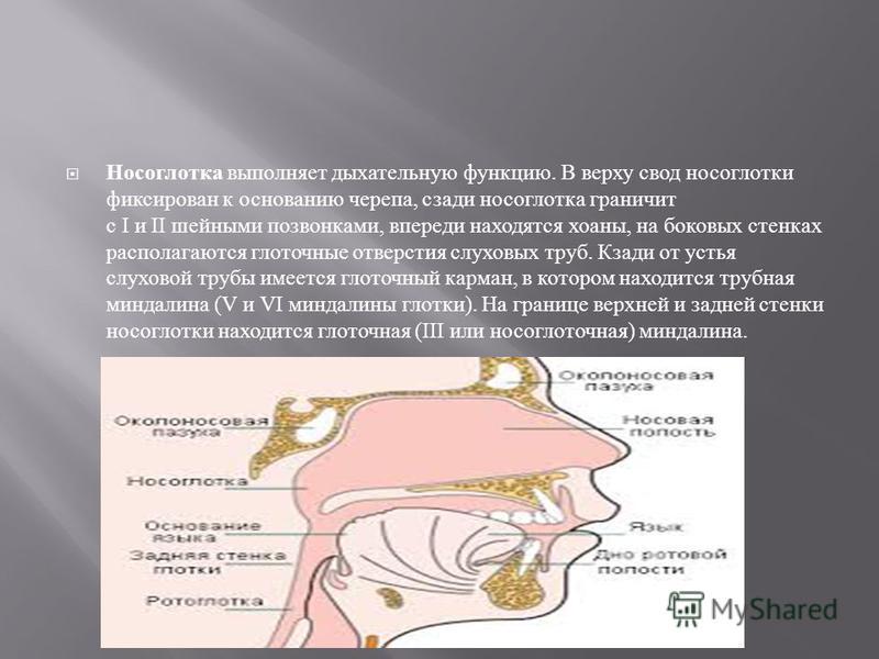 Носоглотка выполняет дыхательную функцию. В верху свод носоглотки фиксирован к основанию черепа, сзади носоглотка граничит с I и II шейными позвонками, впереди находятся хоаны, на боковых стенках располагаются глоточные отверстия слуховых труб. Кзади