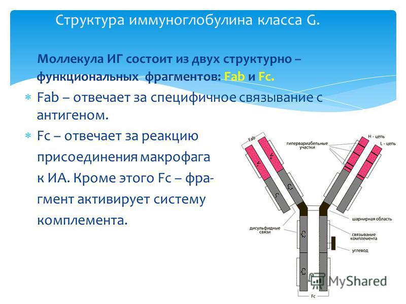Структура иммуноглобулина класса G. Моллекула ИГ состоит из двух структурно – функциональных фрагментов: Fab и Fc. Fab – отвечает за специфичное связывание с антигеном. Fc – отвечает за реакцию присоединения макрофага к ИА. Кроме этого Fc – фрагмент