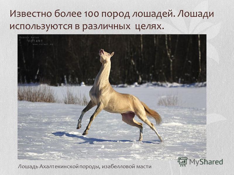 Известно более 100 пород лошадей. Лошади используются в различных целях. Лошадь Ахалтекинской породы, изабелловой масти