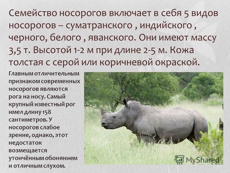 Семейство носорогов включает в себя 5 видов носорогов – суматранского, индийского, черного, белого, яванского. Они имеют массу 3,5 т. Высотой 1-2 м при длине 2-5 м. Кожа толстая с серой или коричневой окраской. Главным отличительным признаком совреме