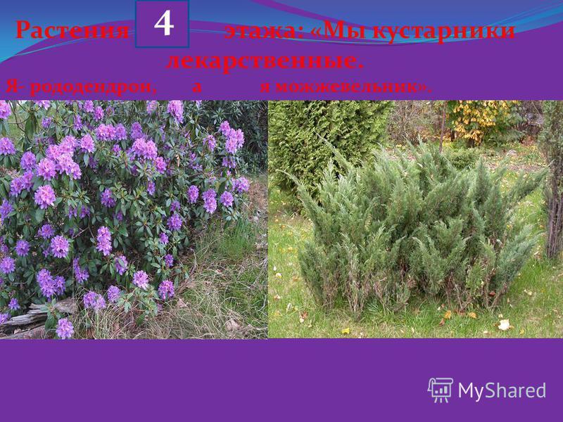 Растения этажа: «Мы кустарники лекарственные. Я- рододендрон, а я можжевельник». 4