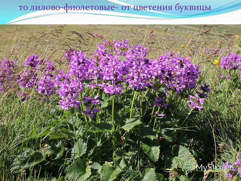 то лилово-фиолетовые- от цветения буквицы