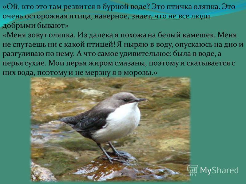 « Ой, кто это там резвится в бурной воде? Это птичка оляпка. Это очень осторожная птица, наверное, знает, что не все люди добрыми бывают» «Меня зовут оляпка. Из далека я похожа на белый камешек. Меня не спутаешь ни с какой птицей! Я ныряю в воду, опу