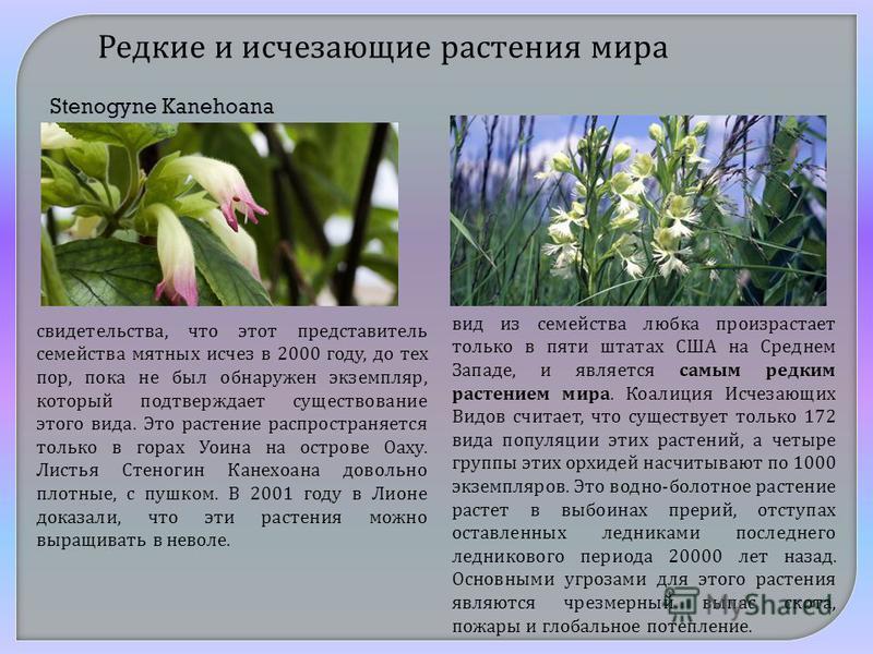 Редкие и исчезающие растения мира свидетельства, что этот представитель семейства мятных исчез в 2000 году, до тех пор, пока не был обнаружен экземпляр, который подтверждает существование этого вида. Это растение распространяется только в горах Уоина