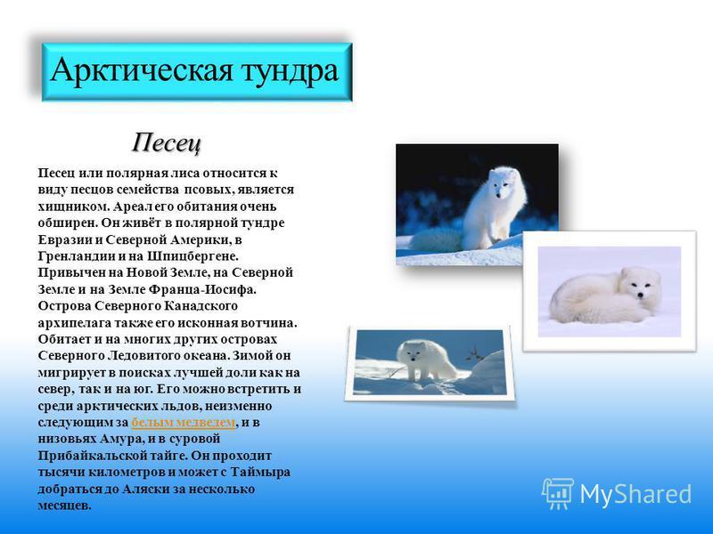 Арктическая тундра Песец Песец или полярная лиса относится к виду песцов семейства псовых, является хищником. Ареал его обитания очень обширен. Он живёт в полярной тундре Евразии и Северной Америки, в Гренландии и на Шпицбергене. Привычен на Новой Зе