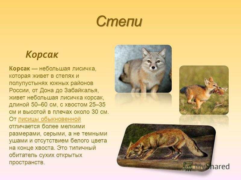 Степи Корсак Корсак небольшая лисичка, которая живет в степях и полупустынях южных районов России, от Дона до Забайкалья, живет небольшая лисичка корсак, длиной 50–60 см, с хвостом 25–35 см и высотой в плечах около 30 см. От лисицы обыкновенной отлич