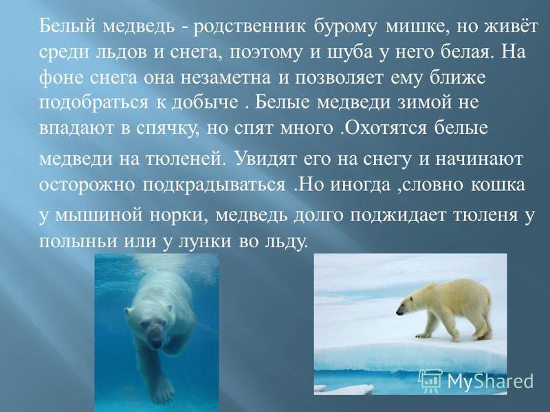 Белый медведь - родственник бурому мишке, но живёт среди льдов и снега, поэтому и шуба у него белая. На фоне снега она незаметна и позволяет ему ближе подобраться к добыче. Белые медведи зимой не впадают в спячку, но спят много. Охотятся белые медвед