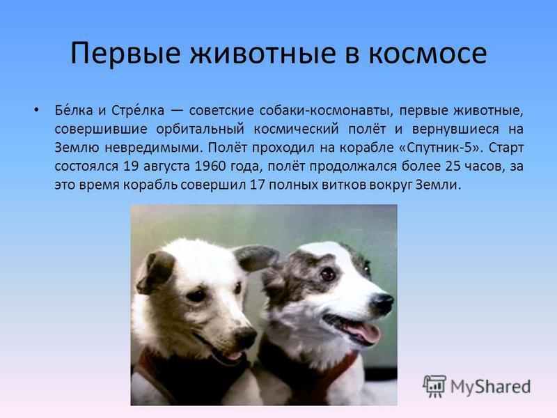 Первые животные в космосе Бе́лка и Стре́лка советские собаки-космонавты, первые животные, совершившие орбитальный космический полёт и вернувшиеся на Землю невредимыми. Полёт проходил на корабле «Спутник-5». Старт состоялся 19 августа 1960 года, полёт