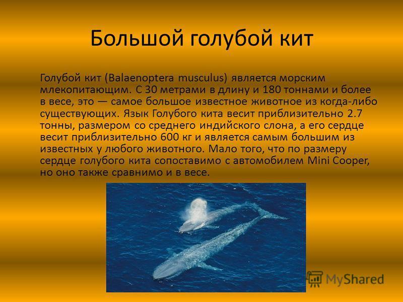 Большой голубой кит Голубой кит (Balaenoptera musculus) является морским млекопитающим. С 30 метрами в длину и 180 тоннами и более в весе, это самое большое известное животное из когда-либо существующих. Язык Голубого кита весит приблизительно 2.7 то