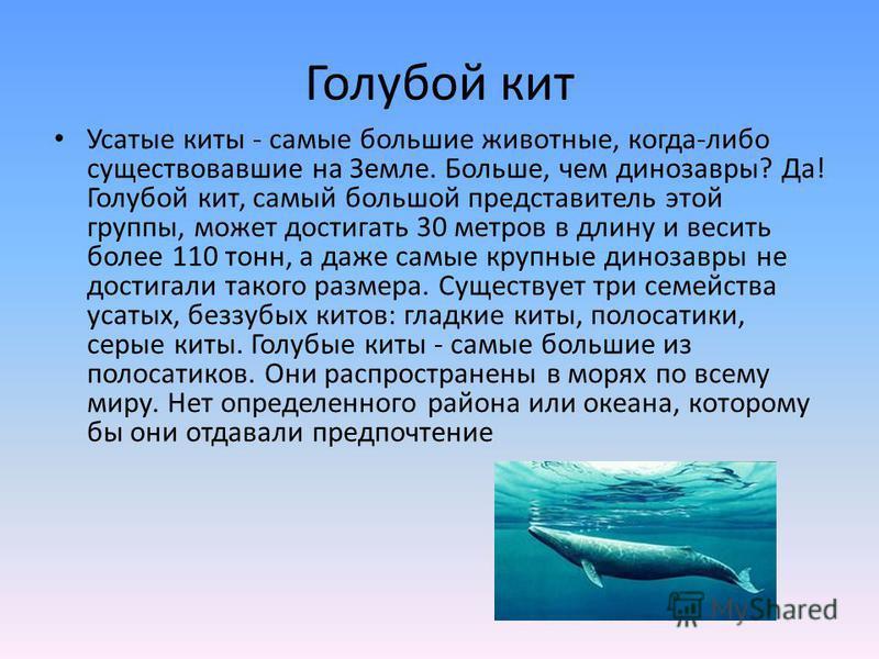 Голубой кит Усатые киты - самые большие животные, когда-либо существовавшие на Земле. Больше, чем динозавры? Да! Голубой кит, самый большой представитель этой группы, может достигать 30 метров в длину и весить более 110 тонн, а даже самые крупные дин