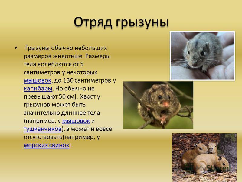 Отряд грызуны Грызуны обычно небольших размеров животные. Размеры тела колеблются от 5 сантиметров у некоторых мышовок, до 130 сантиметров у капибары. Но обычно не превышают 50 см]. Хвост у грызунов может быть значительно длиннее тела (например, у мы
