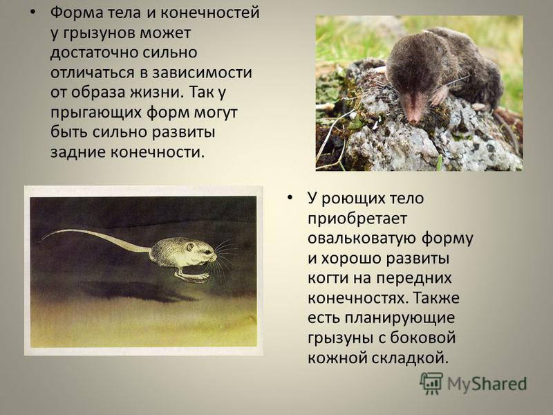 Форма тела и конечностей у грызунов может достаточно сильно отличаться в зависимости от образа жизни. Так у прыгающих форм могут быть сильно развиты задние конечности. У роющих тело приобретает овальковатую форму и хорошо развиты когти на передних ко