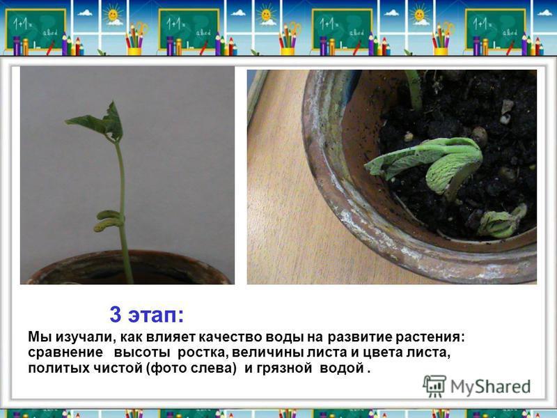 3 этап: Мы изучали, как влияет качество воды на развитие растения: сравнение высоты ростка, величины листа и цвета листа, политых чистой (фото слева) и грязной водой.