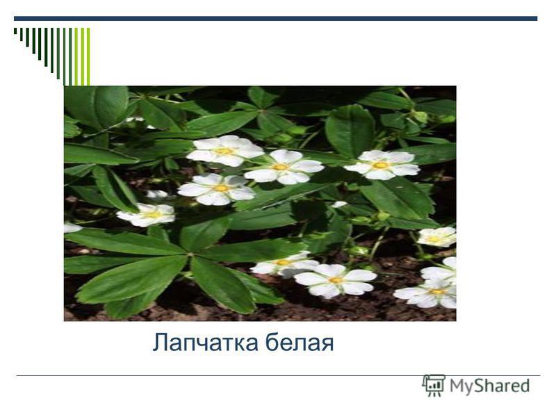 Сообщения Растения Красной книги. Кувшинка белая Купальница европейская