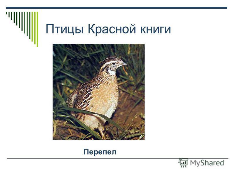 Животные Красной книги Горностай Летяга обыкновенная