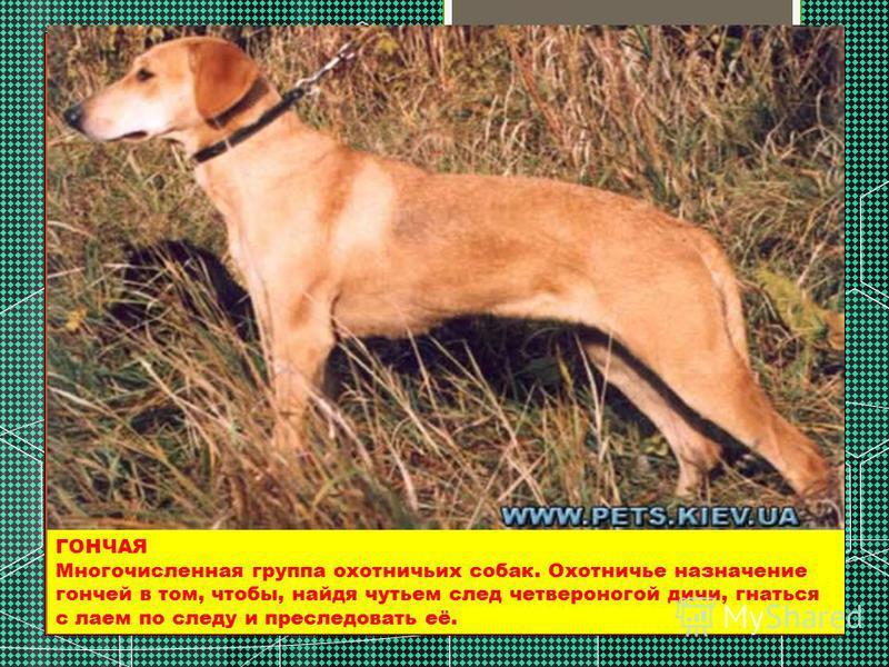 ГОНЧАЯ Многочисленная группа охотничьих собак. Охотничье назначение гончей в том, чтобы, найдя чутьем след четвероногой дичи, гнаться с лаем по следу и преследовать её.
