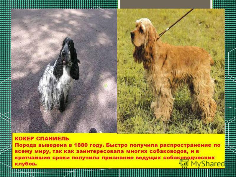КОКЕР СПАНИЕЛЬ Порода выведена в 1880 году. Быстро получила распространение по всему миру, так как заинтересовала многих собаководов, и в кратчайшие сроки получила признание ведущих собаководческих клубов.
